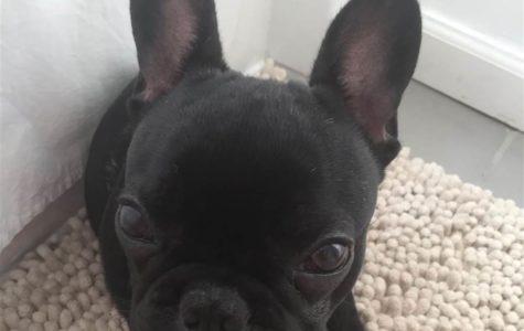 Dog Dies in Overhead Bin on United Airlines Flight