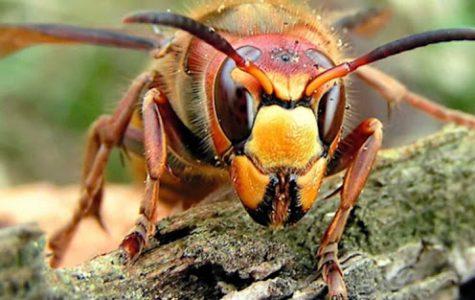 'Murder Hornets' Create Further Panic in America
