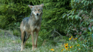 Red Wolf looking at camera.